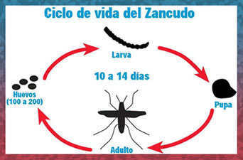 Zancudo Life Cycle